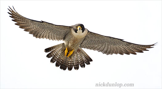 Adult female Peregrine in flight