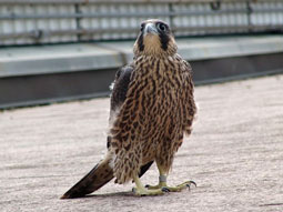 Juvenile Peregrine Falcon on the ground
