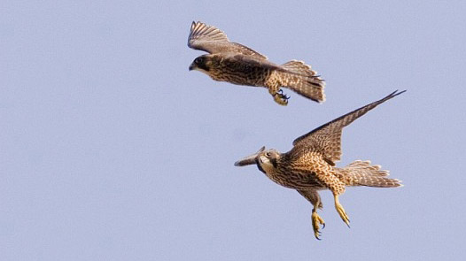 Juvenile Peregrines playing in flight